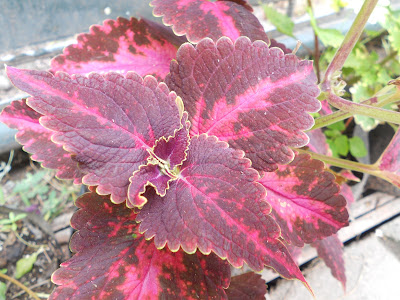 luminous violet coleus leaves